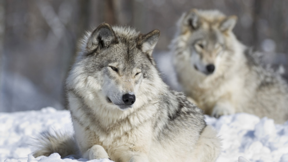 The Biden administration says wolves may need protections restored in the western U.S. after...