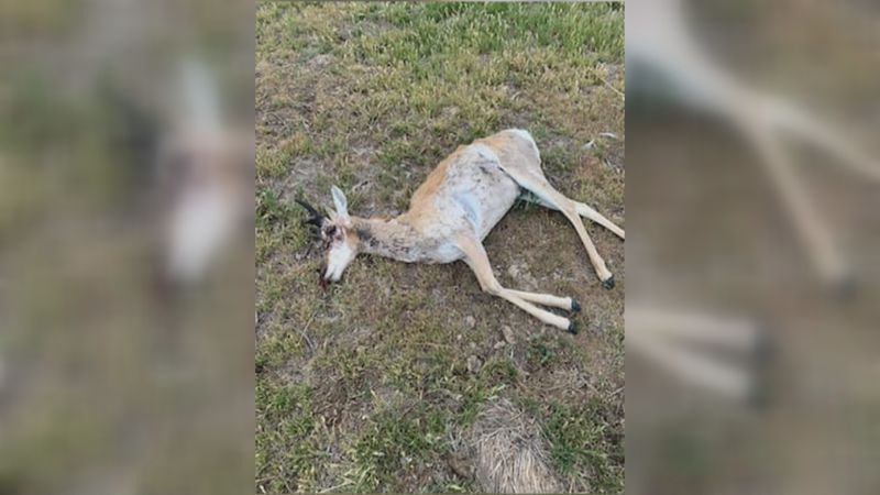 Texas Game Wardens are investigating a felony wildlife shooting after three antelope were found...
