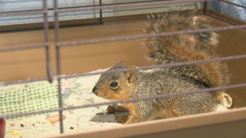 Wildlife baby season is quickly approaching, so the wild west wildlife rehabilitation center is...